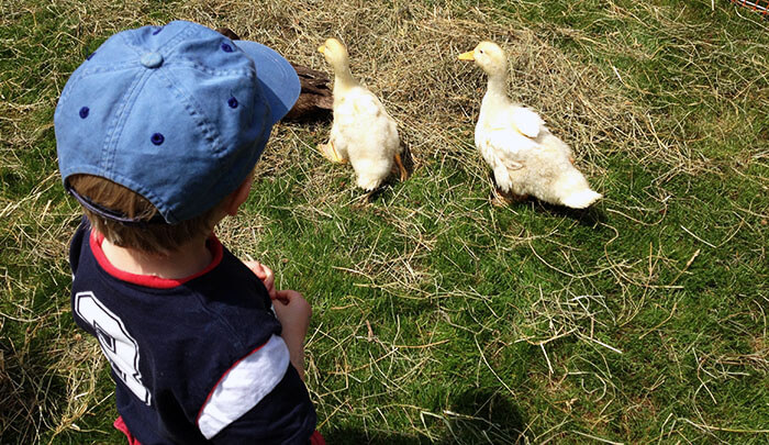 A boy watches two ducklings in the grass