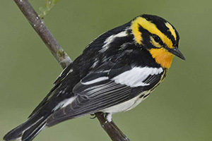 A Blackburnian Warbler sits on a branch in a woodland in Illinois.