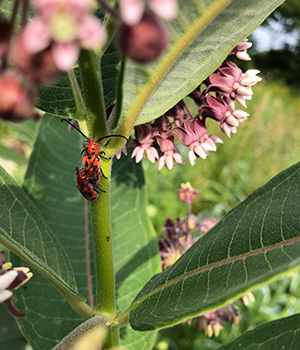 Insects can be observed amongst the native prairie plants at Forest Bluff School.