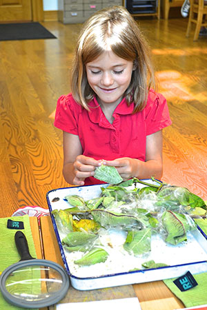 A child in a Montessori Elementary class observes milkweed pods that she has collected from the school's prairie