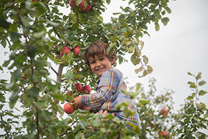 A young child picks apples from an apple tree