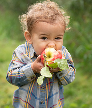 A young child bites into an apple that he has just picked in an orchard