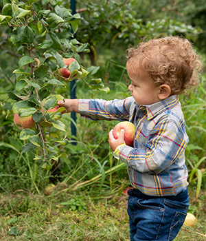 A young child picks apples in an orchard