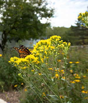 The diversity of the prairie keeps it strong, as demonstrated by a monarch butterfly feeding on the nectar of a goldenrod plant and pollinating it