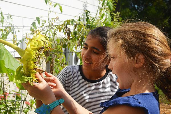 Two Montessori students investigate a sunflower